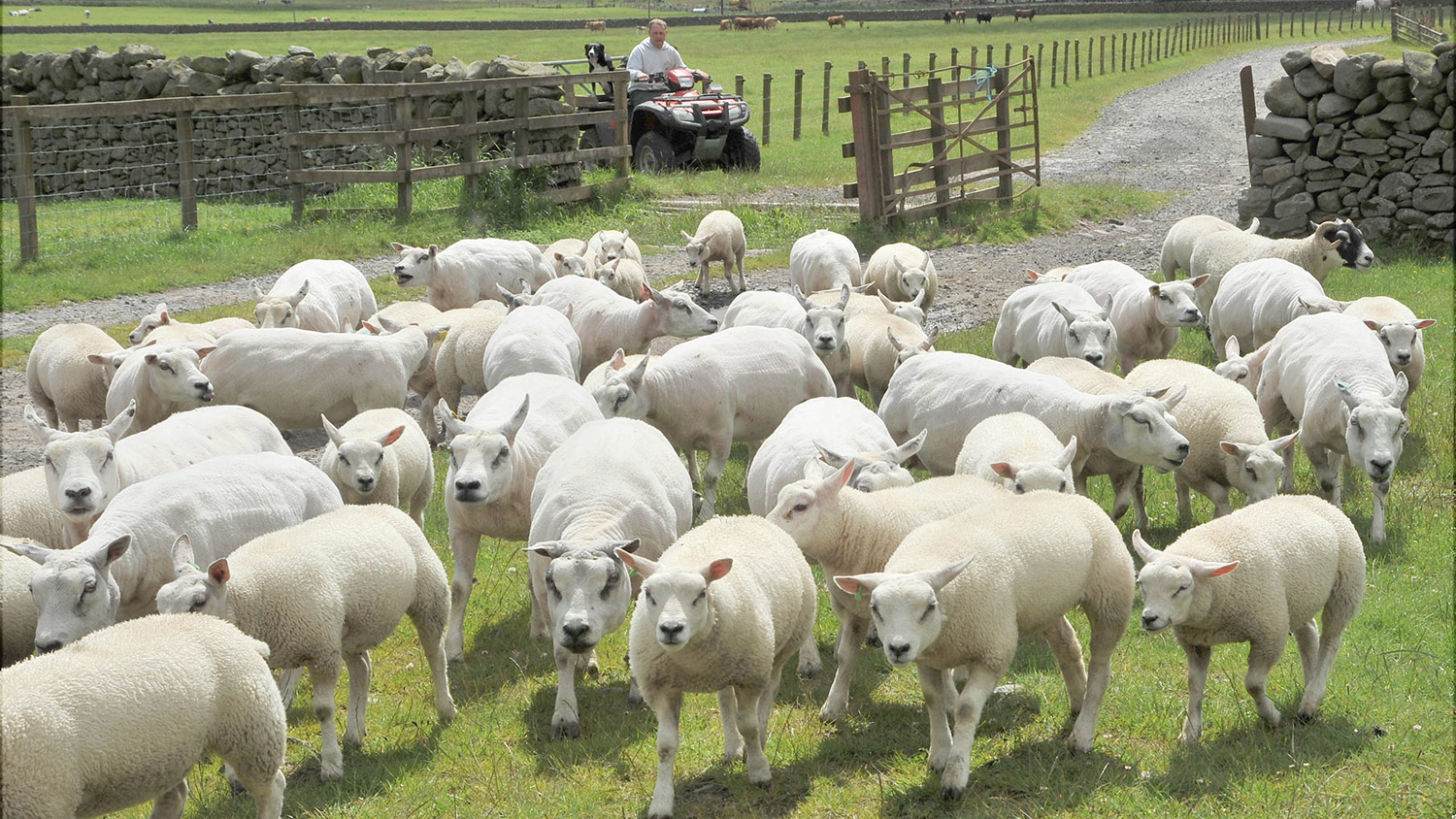 More than 250 sheep stolen from farm in Scotland