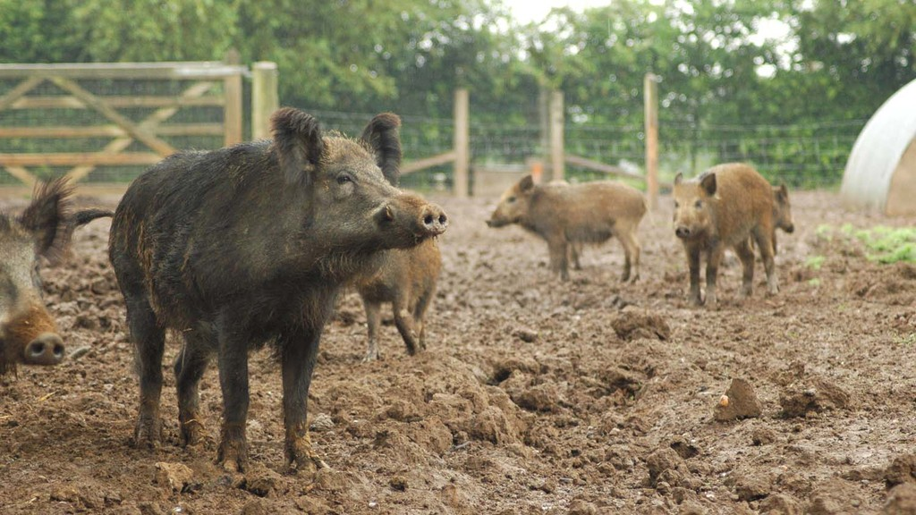 NPA welcomes commitment to step up wild boar cull