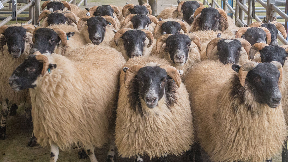 Muslim festival opens opportunities for the UK lamb trade
