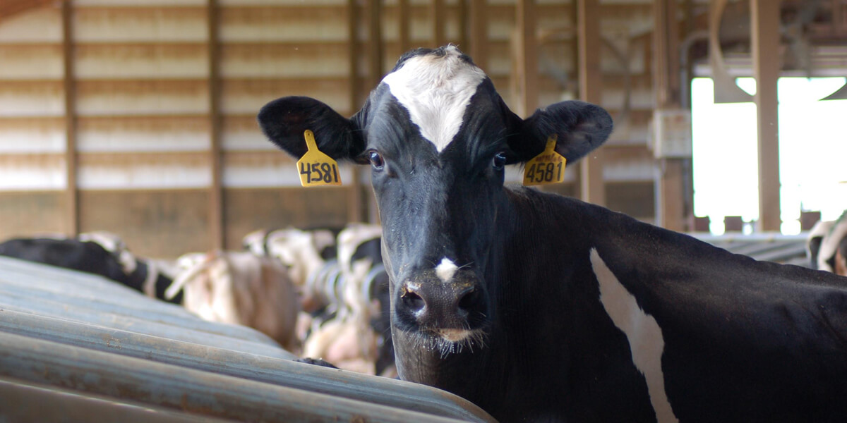 How to Manage Inflammation in Transition Cows