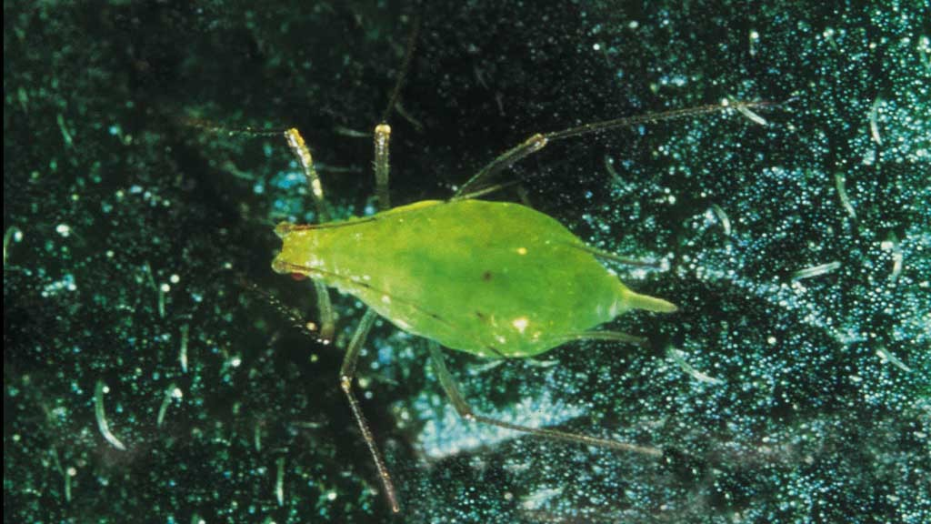 Early aphid arrival predicted