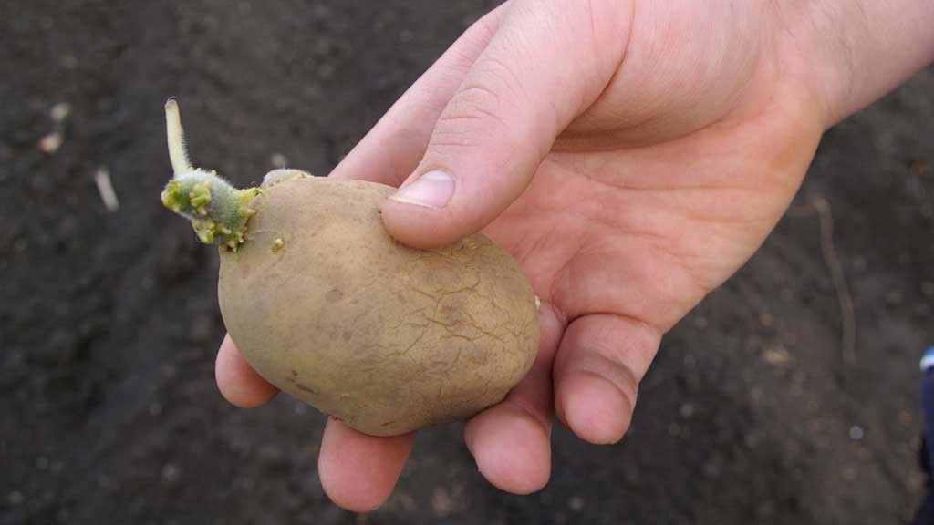 Dormancy break puts potato seed stocks at risk on UK farms