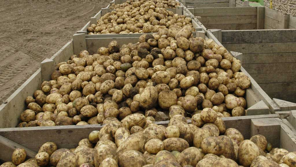 Research consortium aims to tackle potato greening