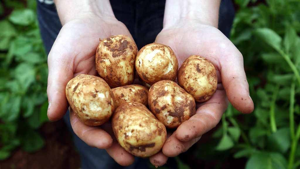 Top quality free-buy prices improve for potatoes