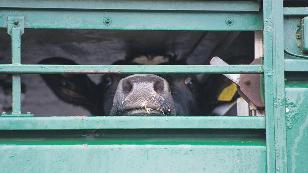 Rustlers steal £16,000 worth of cattle from Carmarthenshire farm