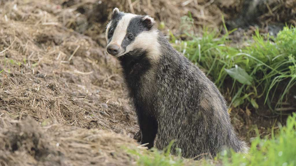Glos badger cull achieved 40 per cent reduction over 11 weeks