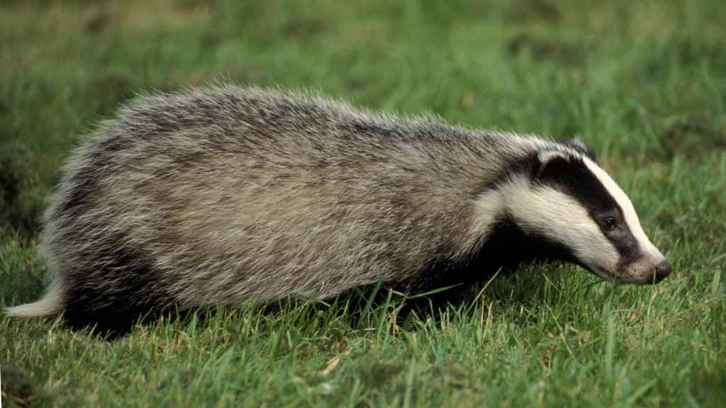 BVA urges politicians to resist 'populist' stance on badger cull