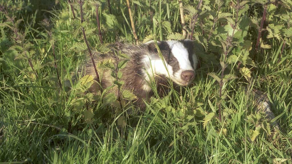 The badger cull: What happens now?