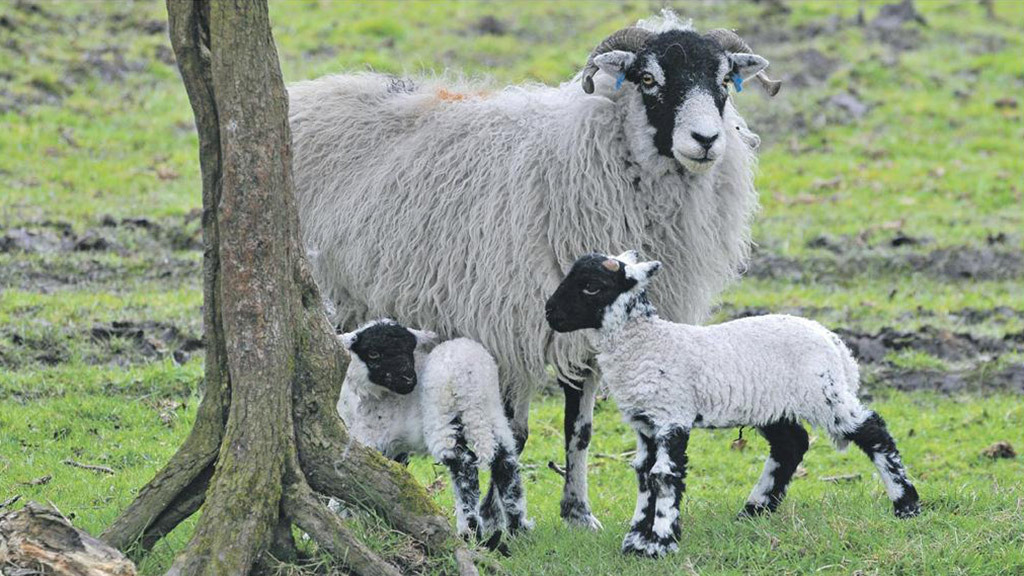 Liver fluke in sheep is on the increase