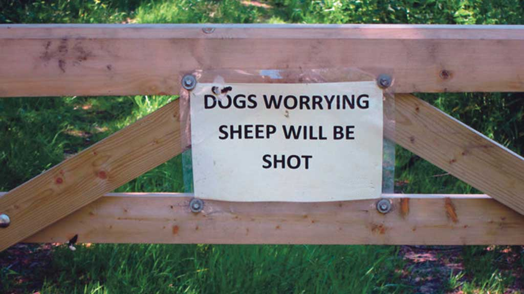 Dogs shot by police marksmen after sheep attack