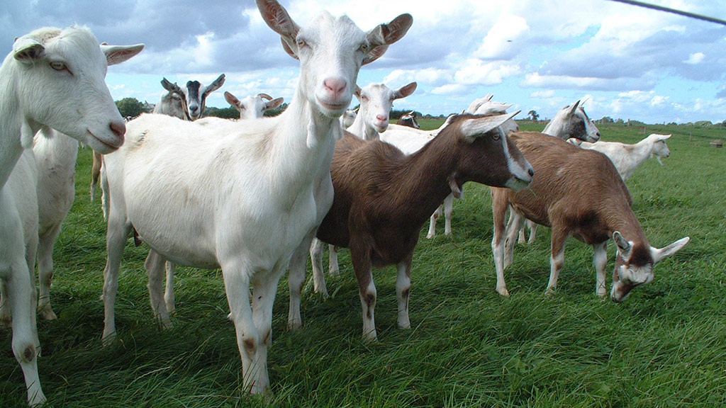 Butchers passed sheep meat off as more expensive goat
