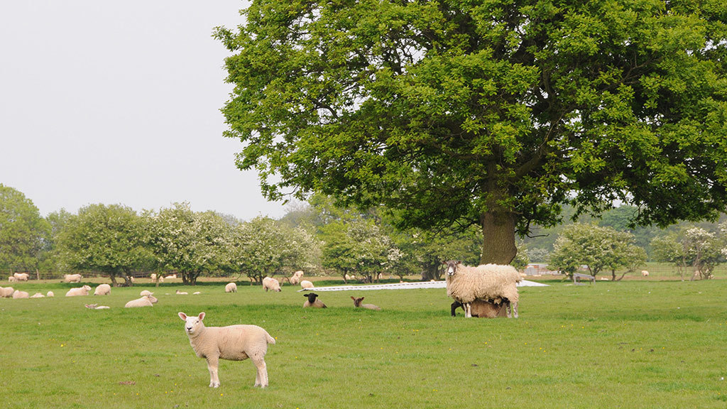 Farmers urged to protect early lambing flocks from Schmallenberg this summer