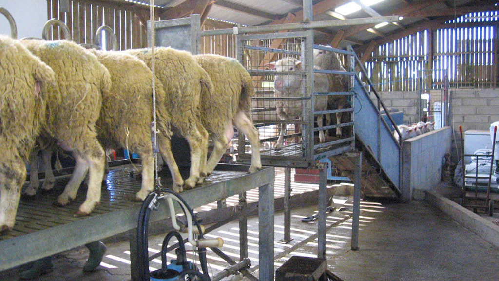 UK sheep dairying industry on 'brink of collapse' due to Covid-19, warns association