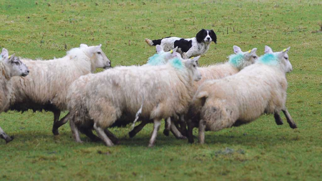 Police statistics show more than 2,000 dog attacks on livestock in the last two years