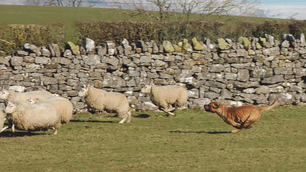Police launch month-long livestock worrying campaign