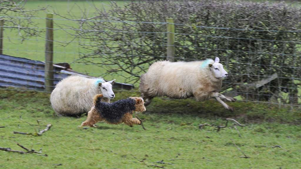 British police dealt with more than 1,100 dog attacks on sheep in 2018
