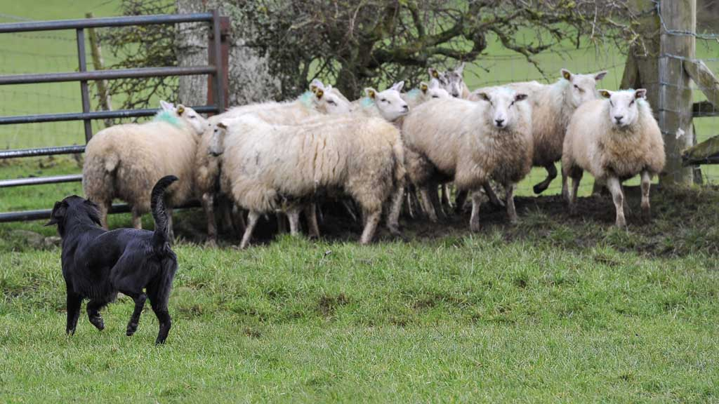 About 60 sheep were attacked at the farm in Kendal