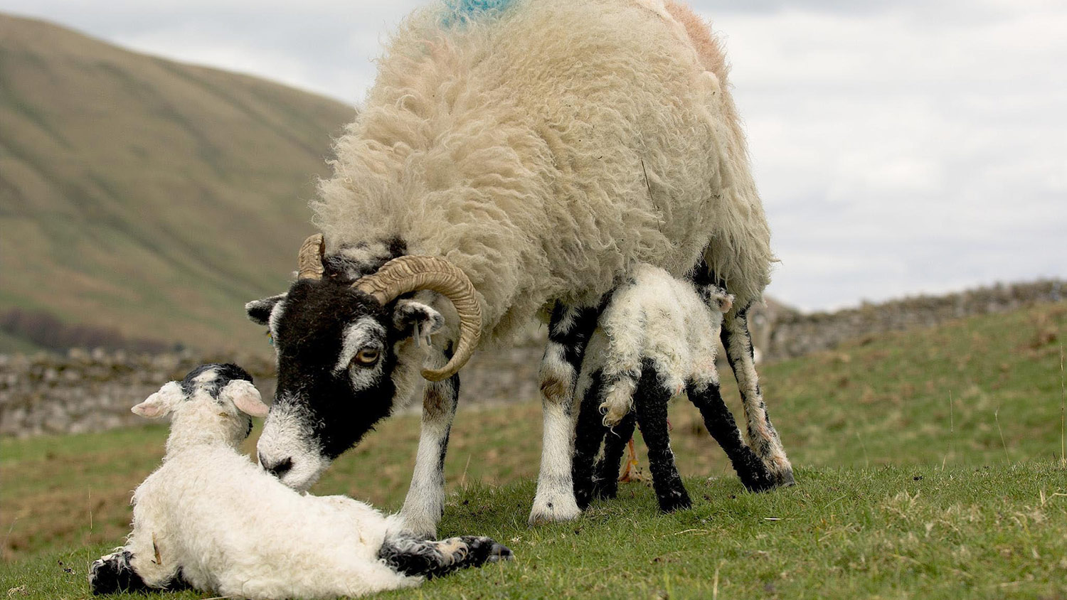 Vet's view: Preventing lamb hypothermia