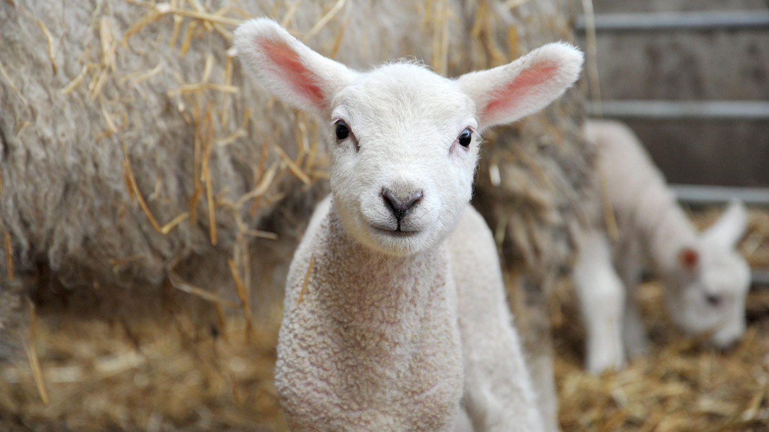 Livestock round-up: Are you prepared for lambing?