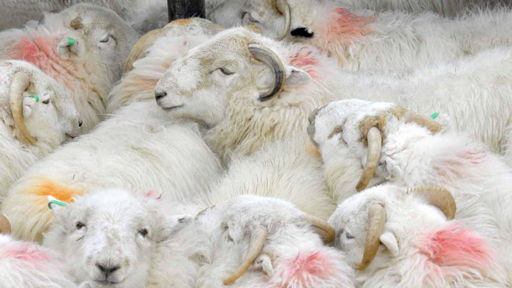 Ear marking guide launched to combat sheep thefts