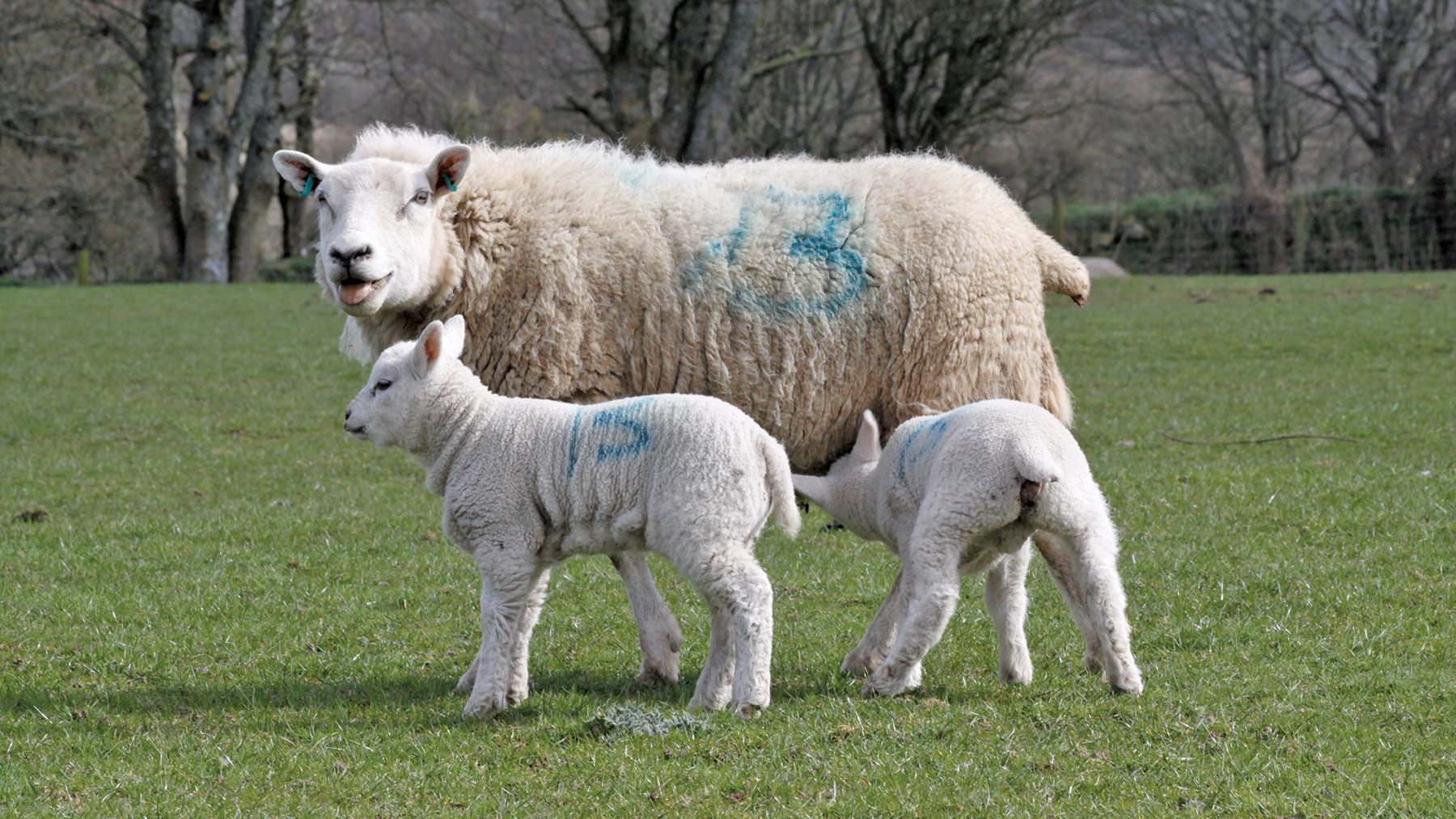 Advice to help control mastitis in sheep