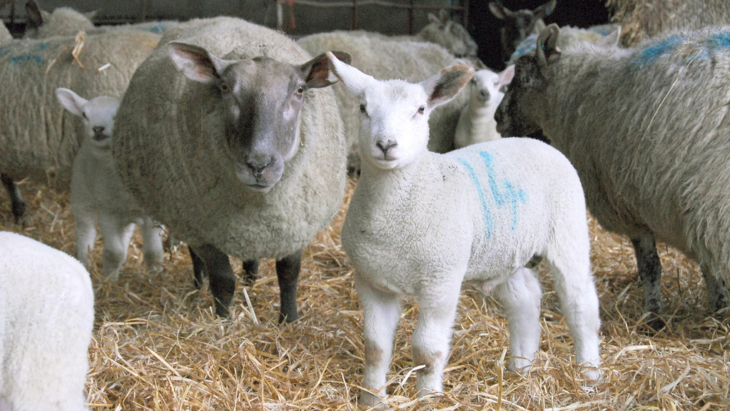 New Zealand lamb becoming less of a threat to UK