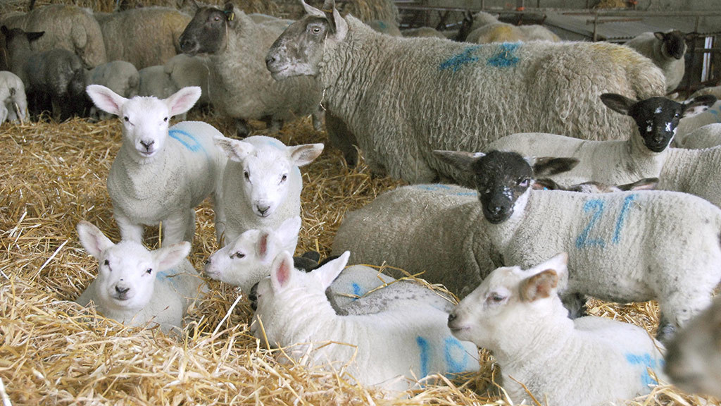 Increasing demand for ewes and lambs despite poor weather