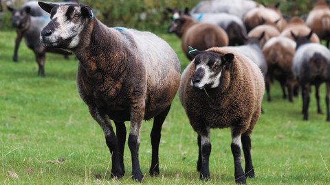 Test your skills and you could win £250 plus a £250 ram voucher in the 2020 sheep stockjudging competition