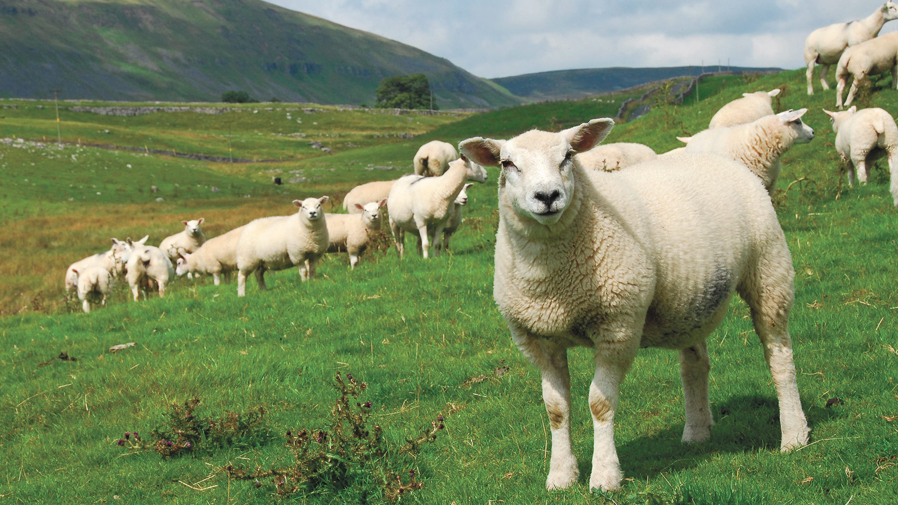Livestock round-up: All about sheep