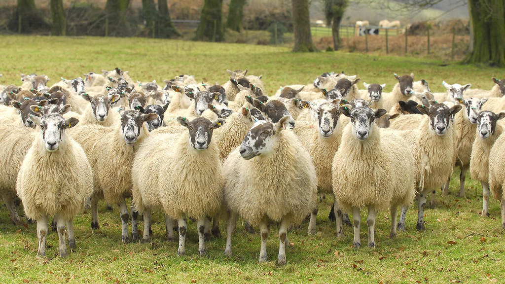 EU-UK Brexit deal allows New Zealand to double exports of sheep meat to Britain