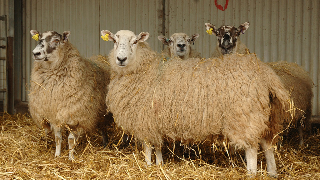 Consider blood testing ewes in run up to lambing