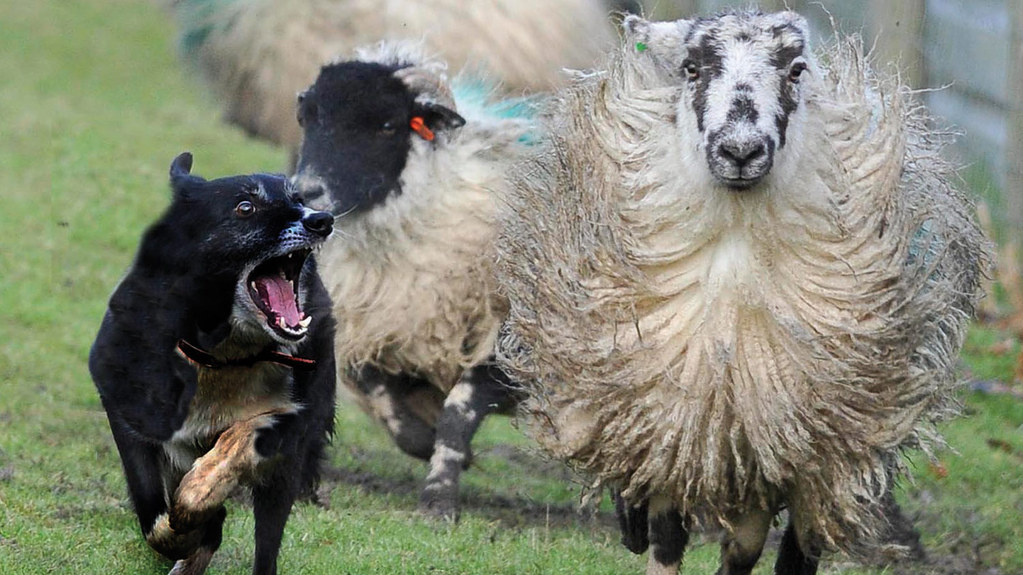 Cost of dog attacks on farm animals rises to £1.3 million