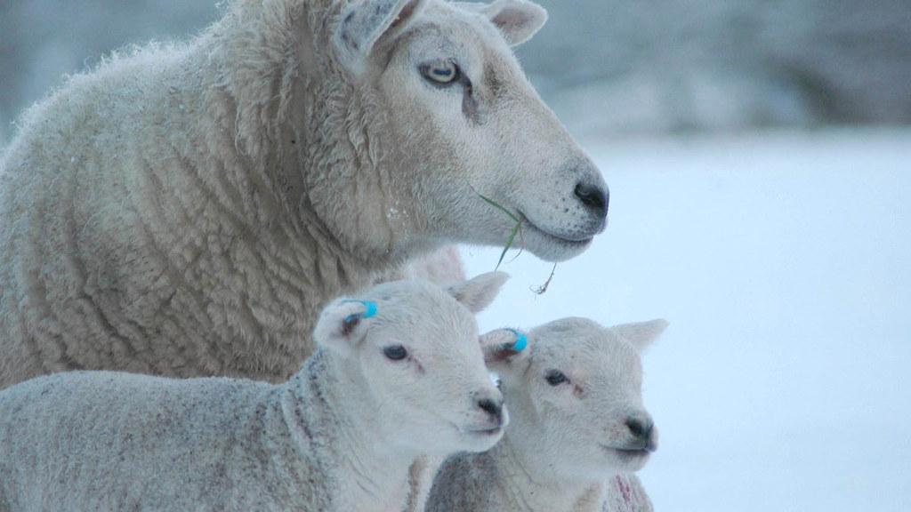 Scottish lambing percentages hit five year low