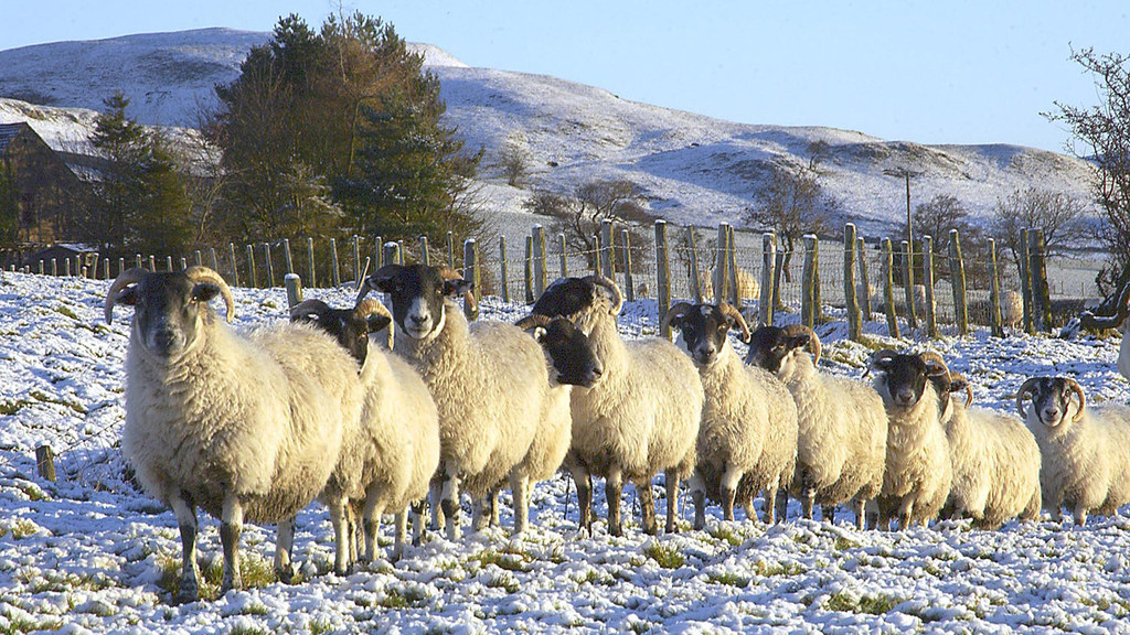 Derogation push as thousands of breeding sheep stuck in limbo