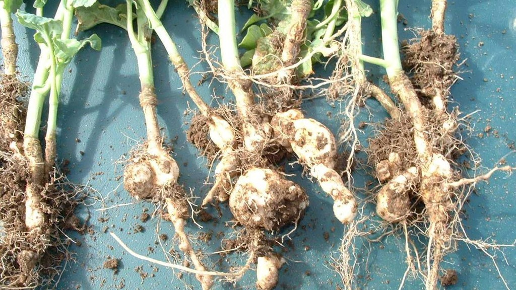 Finding ways to curtail clubroot