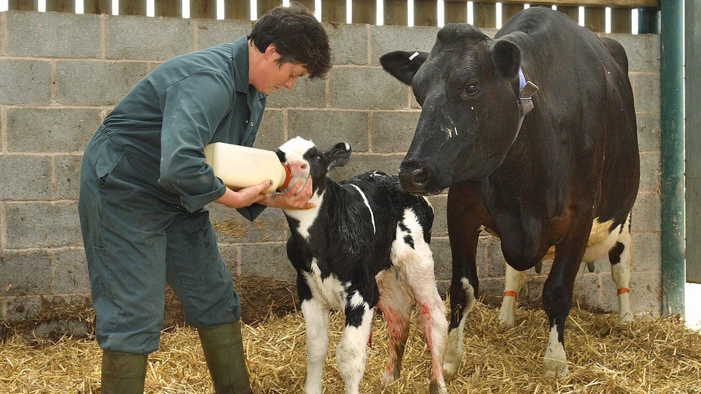 Calf health: Do not cut corners with colostrum