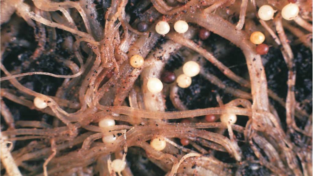 Potato cyst nematodes can cause serious yield losses in potato crops