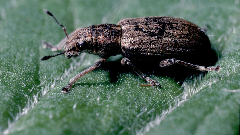 Pea and bean weevil activity increasing as temperatures rise
