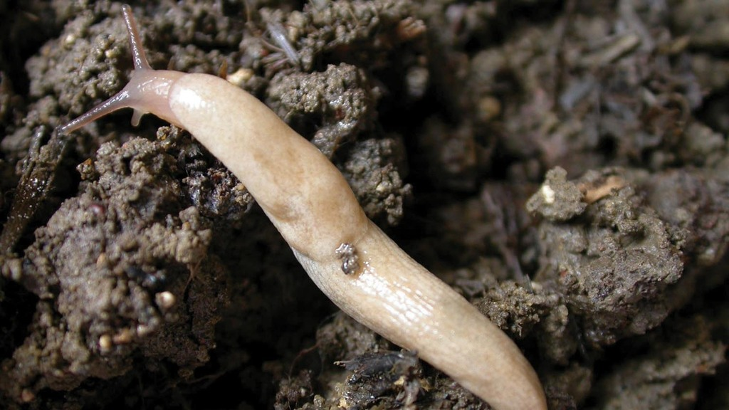 Trials show no increase in slug populations on cover crops compared with stubble