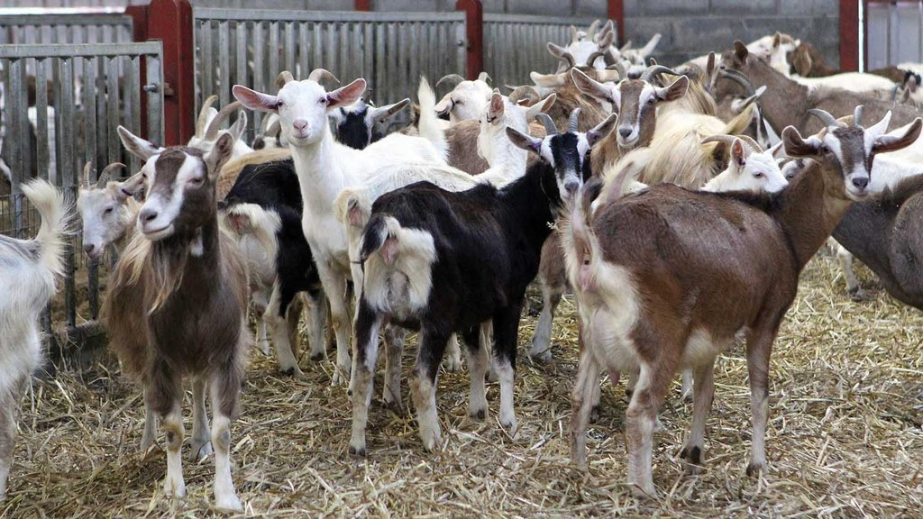 Goat milk farmers' contracts terminated due to oversupply