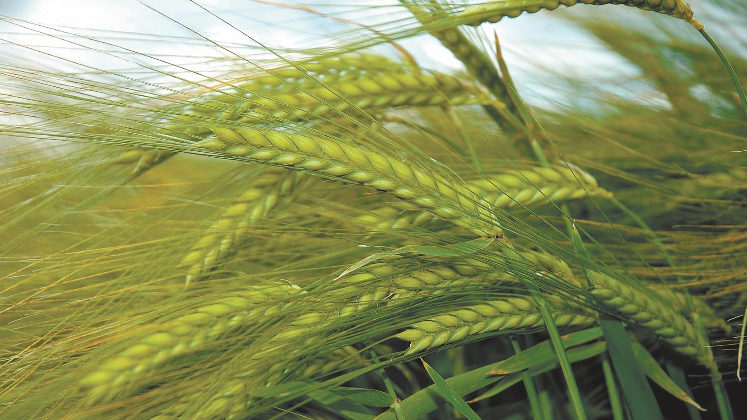 Early RL results show above average winter barley yields