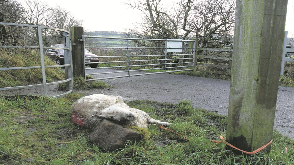 Farmer leaves savaged sheep on path to highlight dog attacks