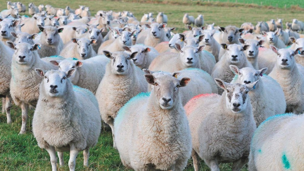 Flock grazing strategies: Many sheep farmers waste a third of grass