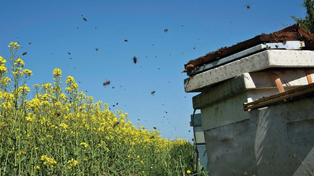 Three neonicotinoids are currently banned in flowering crops due to concerns about bee health