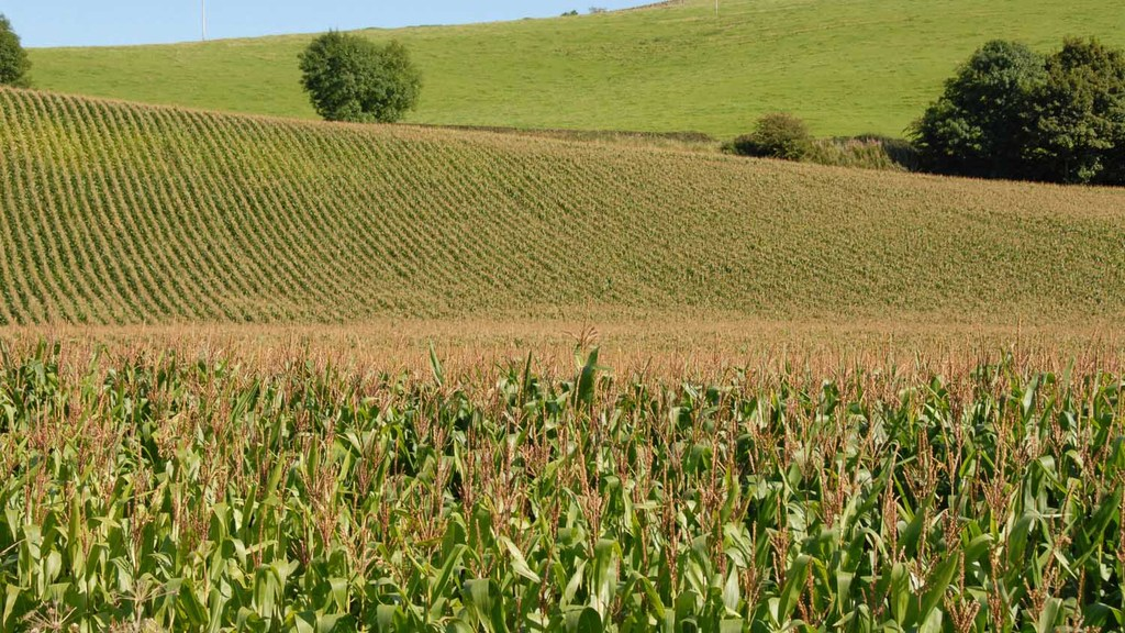 Right maize variety choice will reduce cost per litre of milk