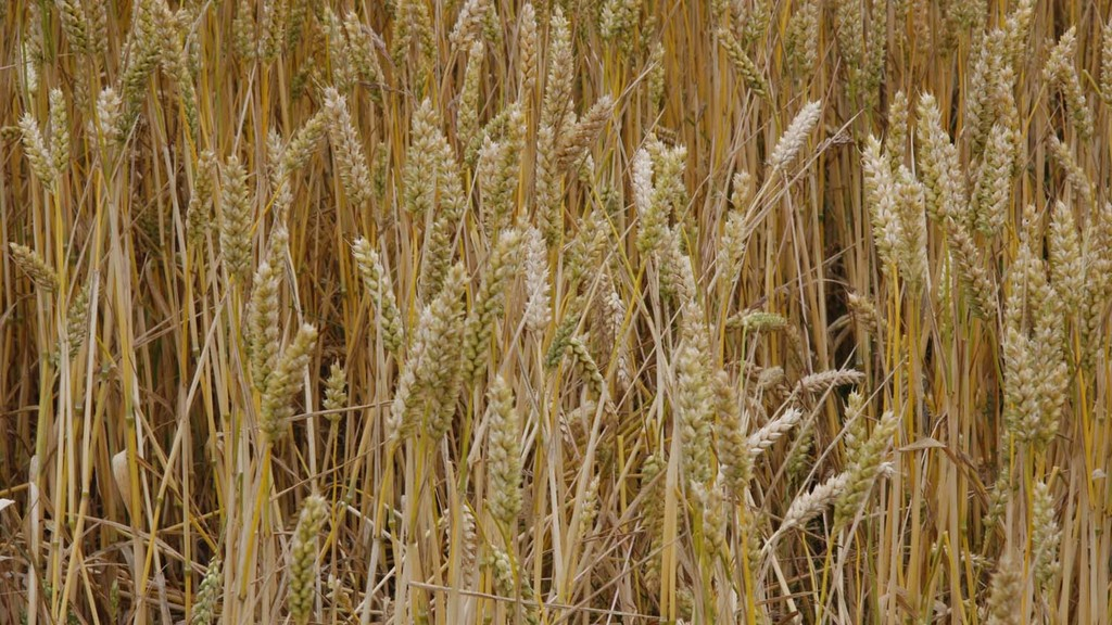 GM wheat trial given go ahead