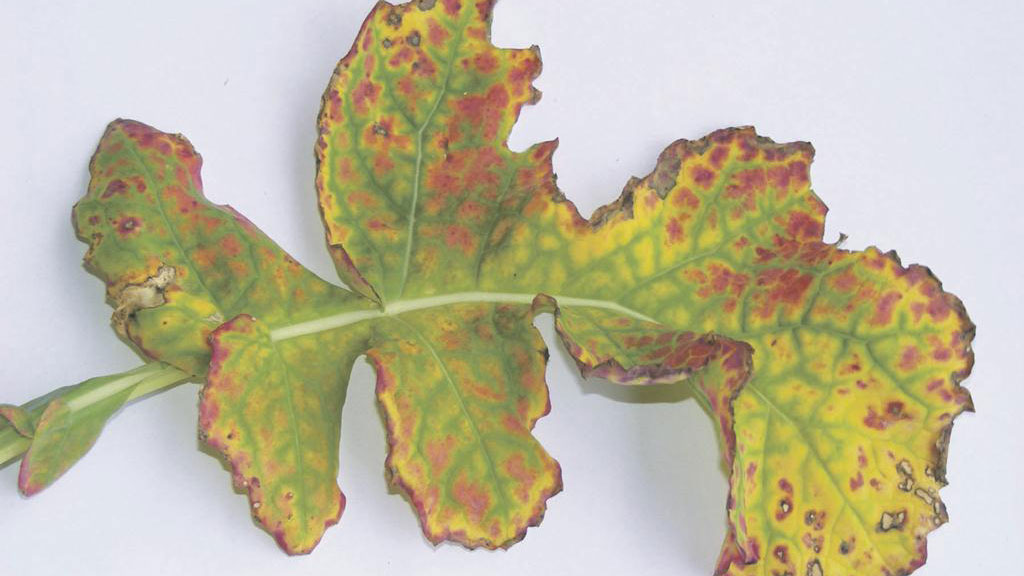 Q&A: Base OSR spray decisions on in-field evidence