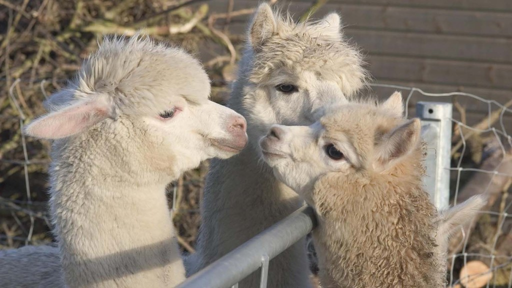 Sheep farmer uses alpacas to prevent dog attacks