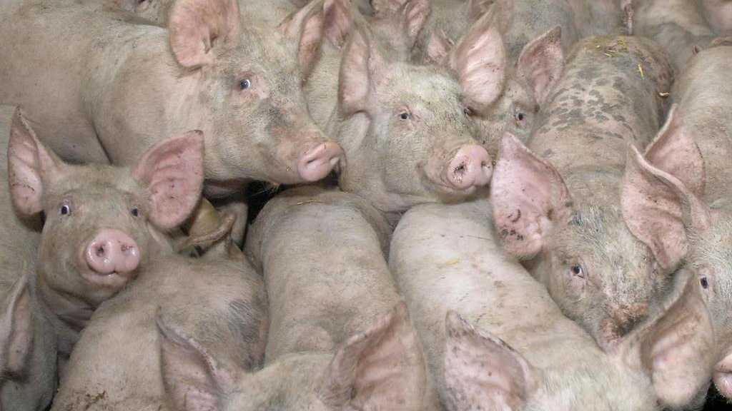 MRSA strain found in pork bought in UK supermarkets