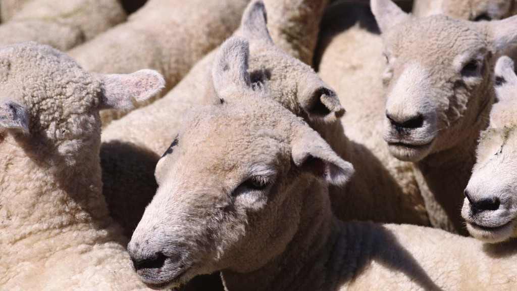 Animal rights activists hit out over production of wool - but here's why it's essential...